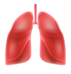 human lungs isolated on white background vector image