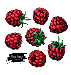 Raspberry drawing isolated berry sketch on vector