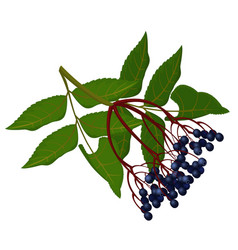 Wild ripe elderberry on branch with green leaves vector