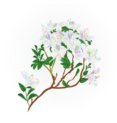 Rhododendron branch flowers multicolored vector