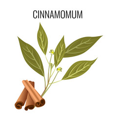 cinnamomum cassia sticks and green leaves on white vector image