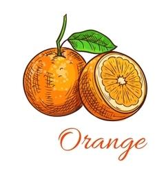 Orange citrus fruit isolated sketch vector
