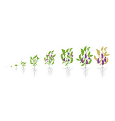 growth stages of eggplant plant vector image
