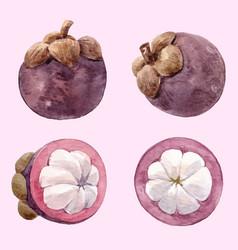 Watercolor mangosteen fruit set vector
