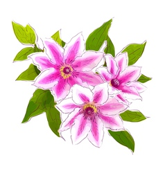 Clematis vector image vector image