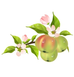 apple tree branch in bloom vector image