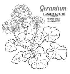 geranium plant vector image