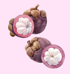 Watercolor mangosteen fruit set vector