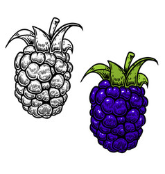 blackberry in engraving style on white background vector image