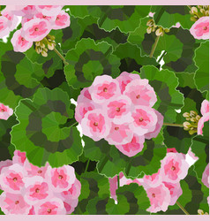 pink pelargonium flowers vector image