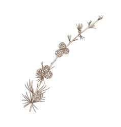 Hand drawn natural drawing of larch branch with vector