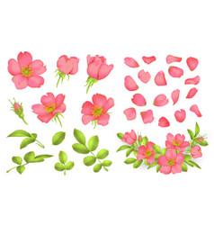 Dog-rose blooms wild rose set vector