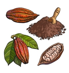 Cacao fruit beans and powder set of style vector image