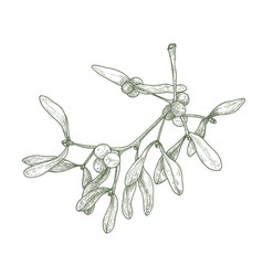 hand drawn detailed drawing of mistletoe sprig vector image