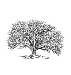 spreading leaveless tree winter oak hand drawn vector image