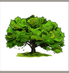 spreading tree oak with green leaves hand drawn vector image