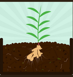Planting ginger tree and compost vector