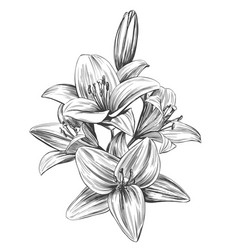 floral blooming lilies hand vector image