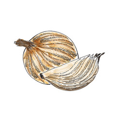 Hand drawn watercolor onion isolated on white vector