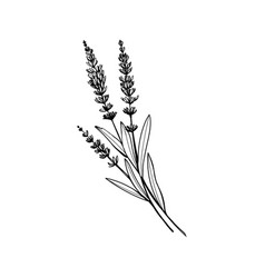 lavender black ink hand drawn sketch vector image