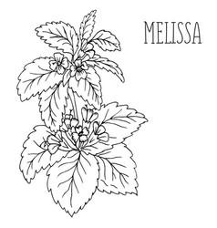 plant melissa vector image vector image