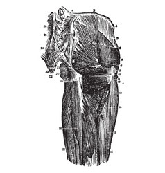 Deep muscles of the hip joint vintage vector