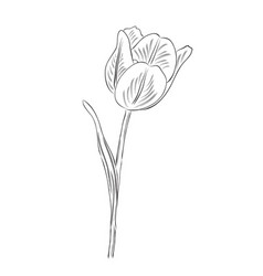 Hand drawn outline tulip flower isolated on white vector