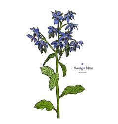 borage borago officinalis or starflower hand vector image