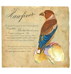 Hawfinch - An hand painted vector