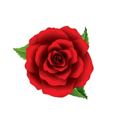Red rose flower top view isolated on white vector image