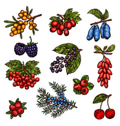Farm garden and wild forest berry fruits vector