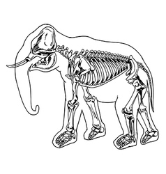 Elephant skeleton vector image