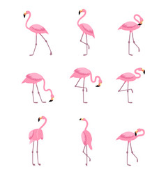 set of isolated tropical greater flamingo vector image