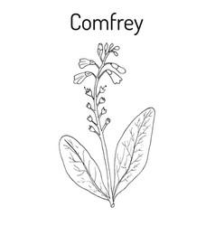 Comfrey symphytum officinale or boneset vector