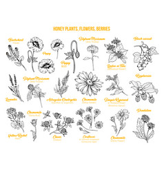honey plants ink sketches set vector image