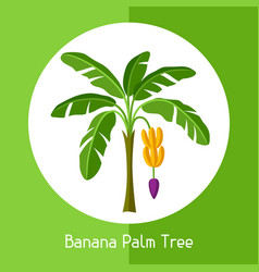 Banana palm tree of exotic tropical vector