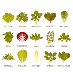 Green salad plants vector