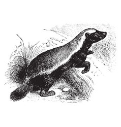 honey badger vintage vector image