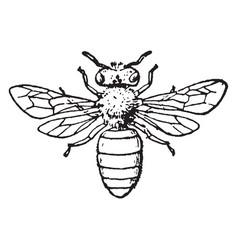 Honey bee vintage vector