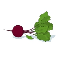 Beet Root Vegetable on White Background vector