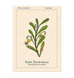 Noble dendrobium ornamental and medicinal plant vector
