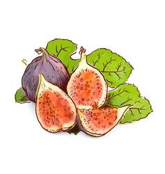 Figs Watercolor imitation with sketch vector image vector image