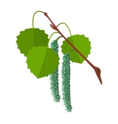 Aspen with leaves and male flowers isolated vector