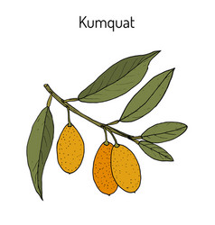 Kumquat citrus japonica branch vector