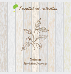 pure essential oil collection nutmeg wooden vector image