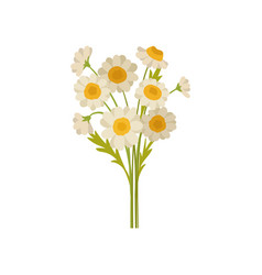 bouquet of chamomile flowers beautiful daisies vector image