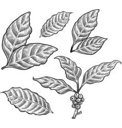 coffee leaf vector image