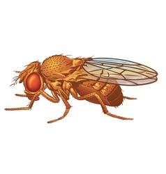 Drosophila melanogaster Fruit Fly vector