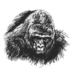 Hand sketch gorilla head vector image