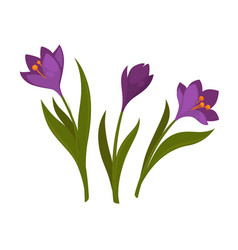 three violet crocus blooming flowers isolated on vector image